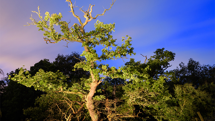 The 600 year old cadzow oak stands metres high against the night sky